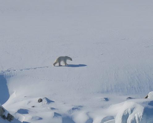polar bears, arctic, skiing ,svalbard, spitsbergen,